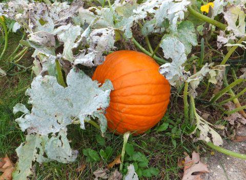 urban-pumpkin